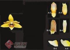"""中缅联合发现新种""""兰花"""" 已""""极度濒危"""""""